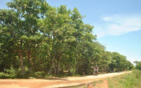 'Cánh rừng kho báu' 400 năm tuổi giữa đồng bằng