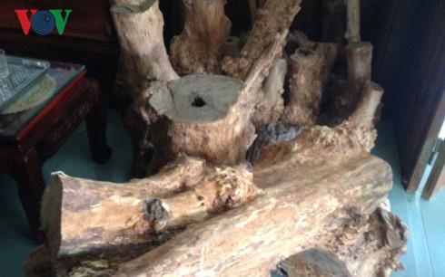 Âm ỉ nạn khai thác gỗ Hương giáng trái phép