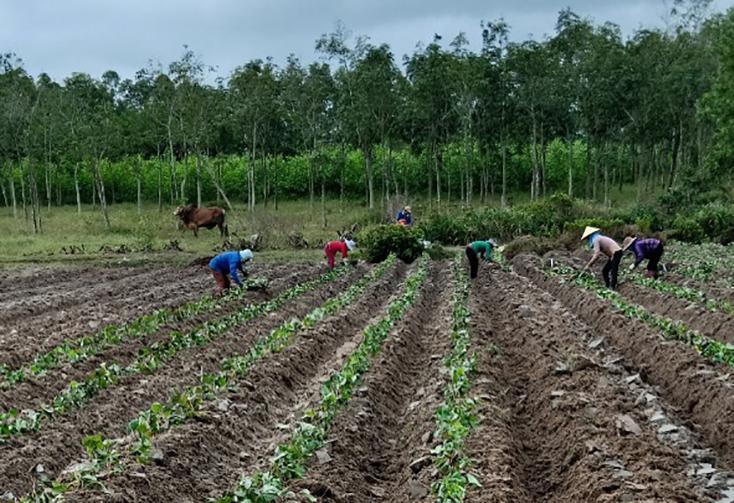 Bố Trạch: Chuyển đổi 10ha đất lúa để trồng khoai lang Hoàng Long