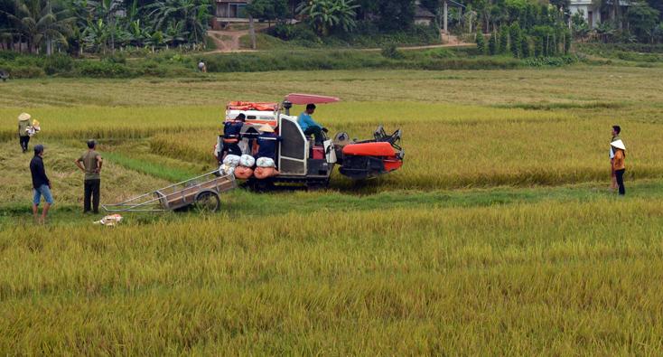 Bố Trạch: Cơ bản thu hoạch xong lúa đông-xuân