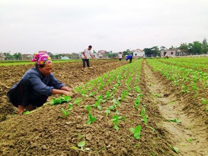 Bố Trạch: Hiệu quả tái cơ cấu cây trồng