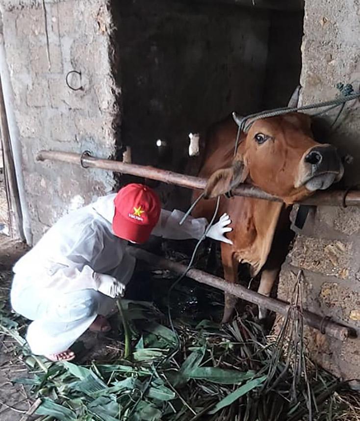 Bố Trạch: Khẩn trương phòng chống bệnh viêm da nổi cục trên trâu, bò