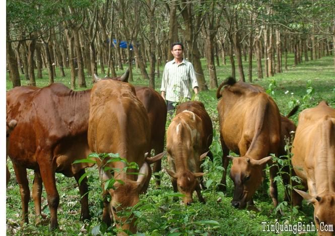 Bố Trạch: Tỷ trọng chăn nuôi chiếm 48%