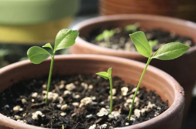 Cách trồng cây chanh từ hạt tại nhà cho quả căng tròn mọng nước vượt mong đợi