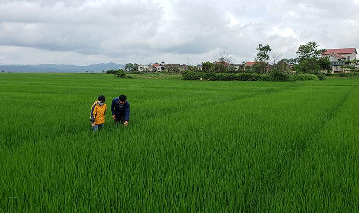 Cánh đồng lớn gắn với chuỗi liên kết sản xuất: Nâng cao giá trị sản phẩm nông nghiệp