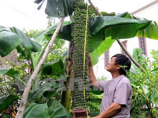 Cây chuối lạ trổ buồng dài 2m với gần 200 nải tại Quảng Bình