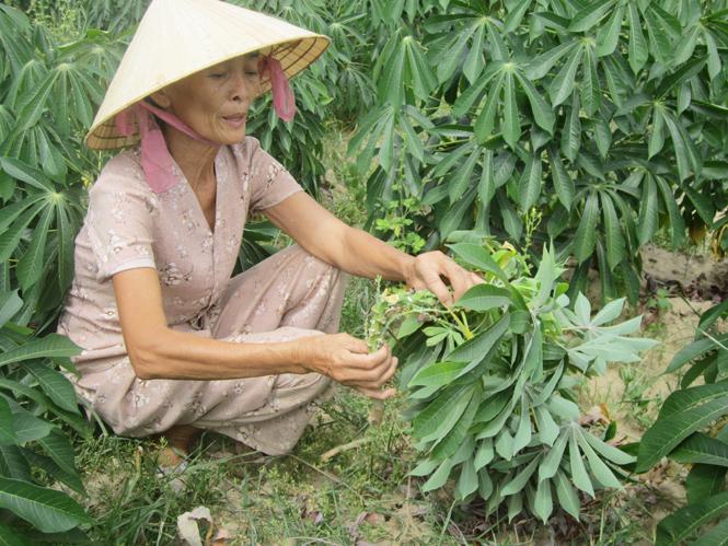 Chủ động phòng trừ sâu bệnh cho cây trồng vụ đông-xuân
