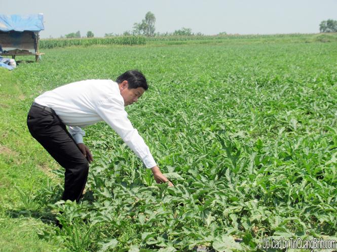 Chuyển đổi đất lúa kém hiệu quả sang trồng dưa hấu: Hướng đi triển vọng