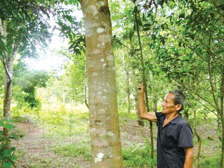 Chuyện về các bản làng vùng sâu Quảng Bình(Kỳ 2): Hai vườn lim độc đáo ở miền tây Tuyên Hóa