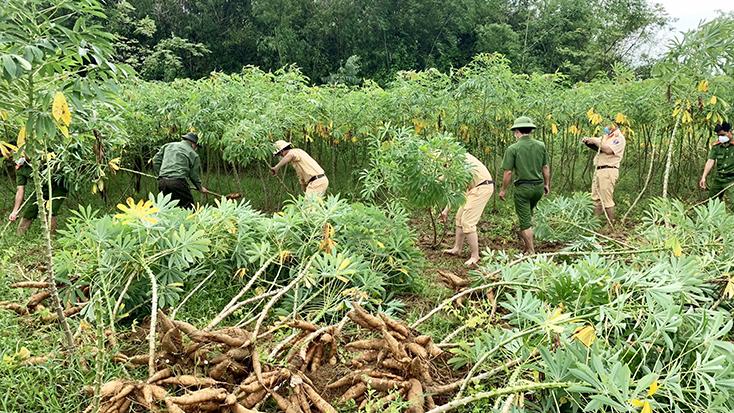Công an huyện Bố Trạch giúp dân thu hoạch sắn