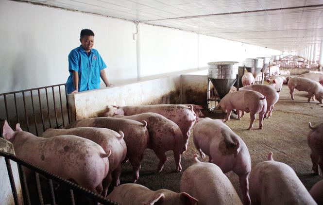 Đẩy mạnh phát triển chăn nuôi theo hướng trang trại