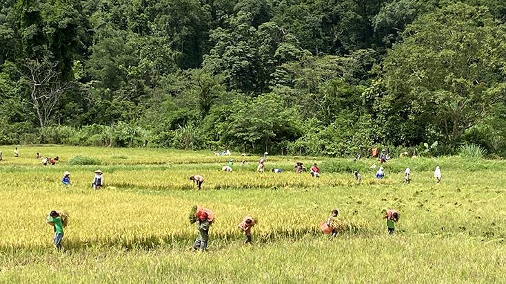 Đồn Biên phòng Cà Xèng giúp dân thu hoạch lúa trước mùa mưa bão
