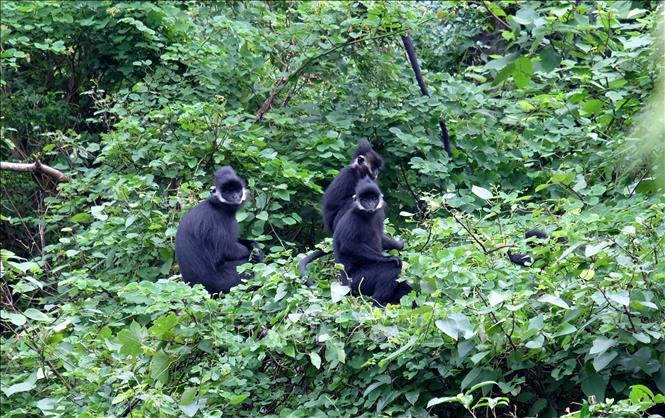 Giao cho người dân quản lý, bảo tồn loài voọc đen gáy trắng