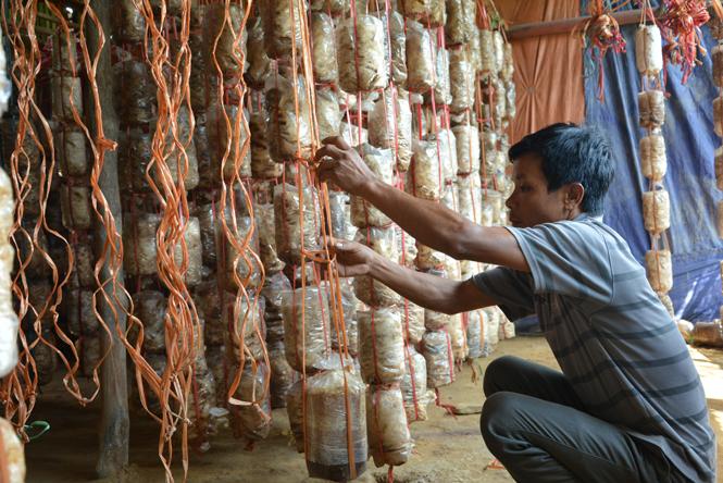 Hiệu quả kinh tế từ việc trồng nấm ăn, nấm dược liệu