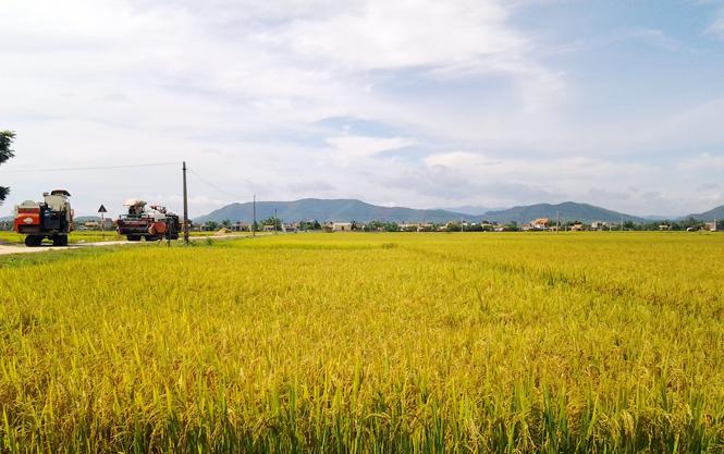 Hiệu quả từ mô hình sản xuất lúa giống tại chỗ