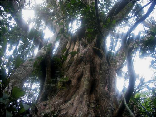 Huyền bí Phong Nha-Kẻ Bàng - Kỳ 6: Rừng bách xanh 500 năm tuổi