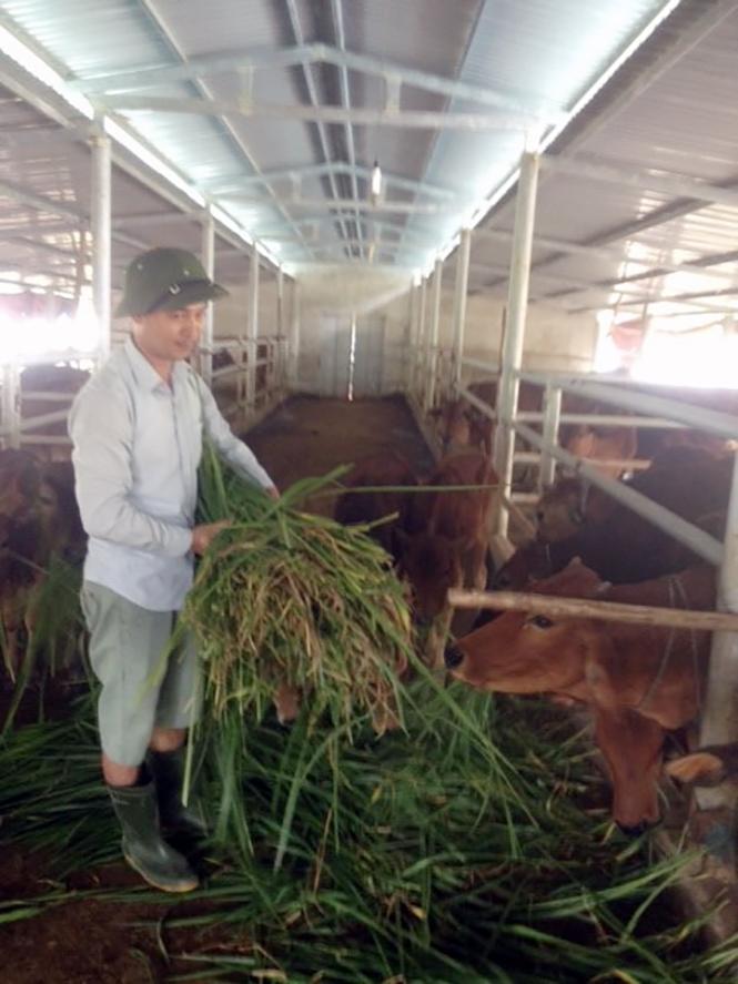 Khởi nghiệp từ… nuôi bò