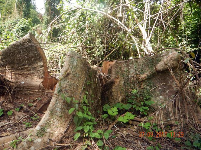 Khởi tố vụ án hình sự vi phạm các quy định về khai thác và bảo vệ rừng