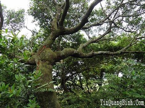 Khu rừng trâm bầu cổ 500 năm ở Quảng Bình