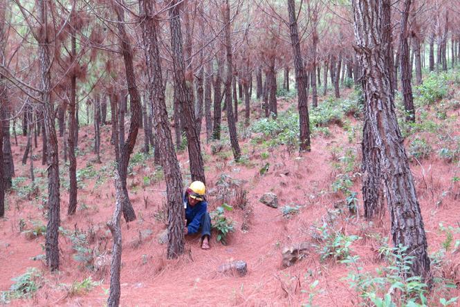 Lâm Trạch: Xóa đói giảm nghèo từ cây thông