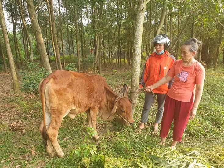 Lệ Thủy: Có 195 con trâu, bò bị bệnh viêm da nổi cục
