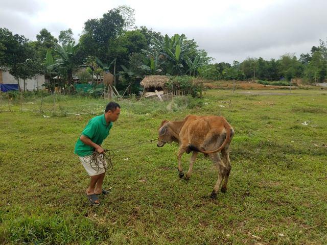 Minh Hóa: Tiến hành thanh tra vụ nghi cung cấp bò giống mang dịch cho người nghèo
