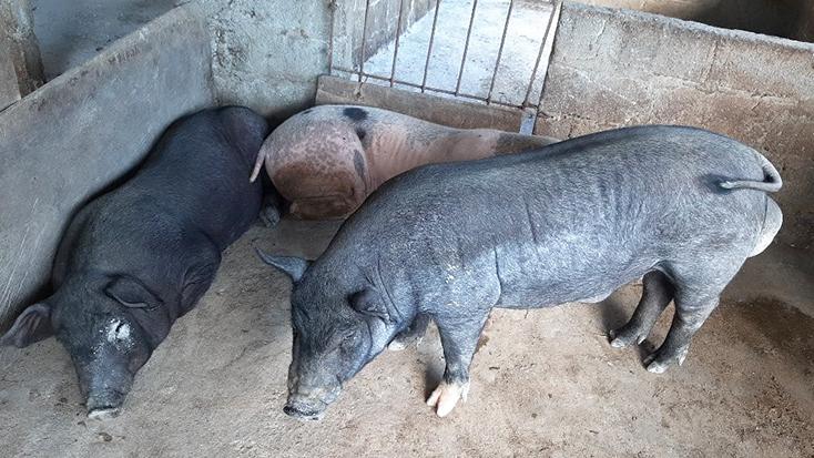 Minh Hóa: Xuất hiện ổ dịch tả lợn châu Phi mới