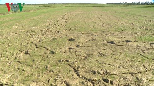Nắng nóng khiến nhiều diện tích sản xuất lúa hè thu thiếu nước