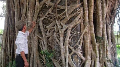 Ngắm gốc cây sanh trăm tuổi tuyệt đẹp