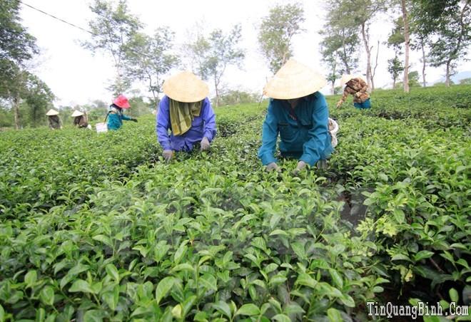 """Ngành chè Việt Nam """"nói không"""" với thuốc bảo vệ thực vật Fipronil"""