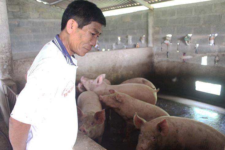 """Người chăn nuôi lợn ở Vạn Ninh: """"Còn da lông mọc, còn chồi nảy cây"""""""