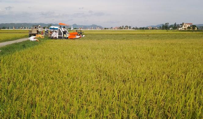 Nhân rộng mô hình cánh đồng lớn tại xã Quảng Lộc