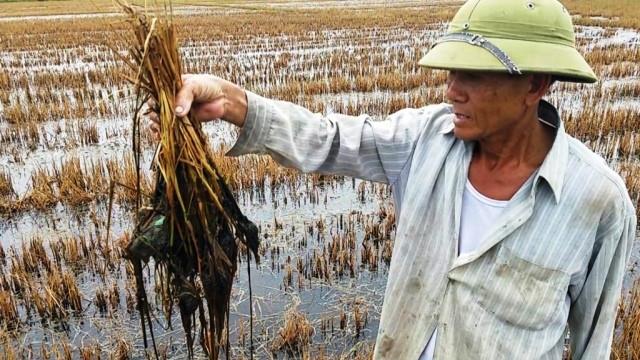 Nhiều đồng ruộng tại Quảng Bình bị nhiễm mặn sau bão số 10