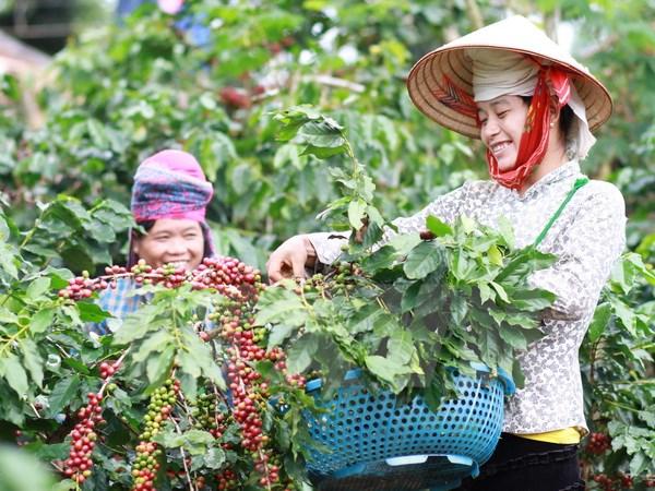 Nhiều kỹ thuật độc đáo được áp dụng cho cây càphê Việt Nam