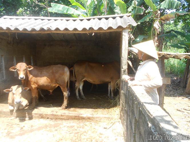 Nông dân xã Dương Thủy: Thoát nghèo nhờ chăn nuôi gia súc