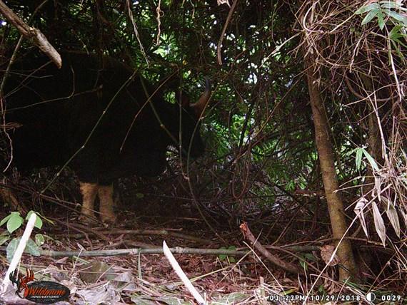 Phát hiện hàng chục cá thể bò tót trong vùng lõi và giáp ranh Phong Nha-Kẻ Bàng