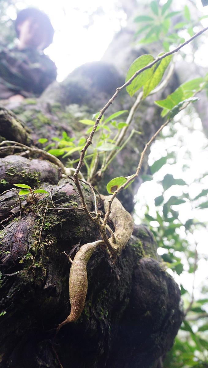 Phóng sự đường rừng: Đi tìm rừng thiêng - Kỳ cuối: Giải mã 'linh mộc'