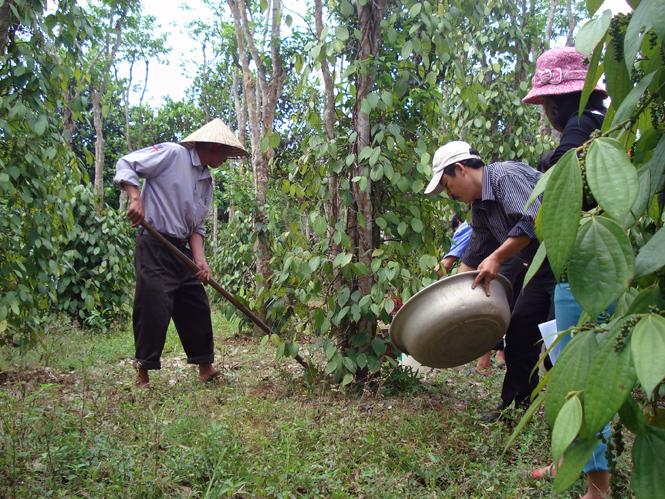 Phòng trừ sâu bệnh trên cây cao su và hồ tiêu trong mùa mưa