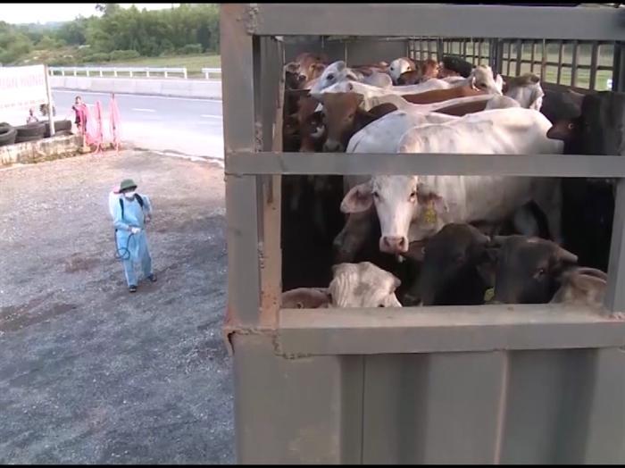 Quảng Bình cấp bách phòng chống dịch bệnh trên gia súc