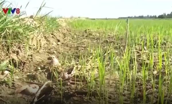 Quảng Bình: Nhiều diện tích mạ mới gieo bị chết vì nắng nóng