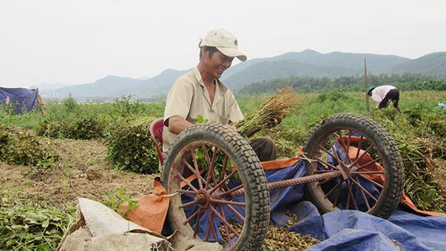 Quảng Bình: Nông dân xã Cảnh Hóa phấn khởi được mùa lạc