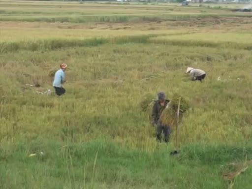 Quảng Ninh được mùa lúa Hè Thu