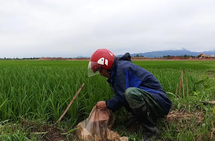 Quảng Trạch: 203ha lúa đông-xuân bị sâu bệnh và chuột phá hoại