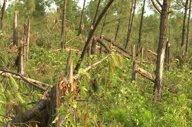 Quảng Trạch: Nhiều diện tích rừng khó phục hồi sau bão
