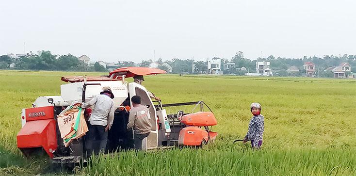 Quảng Trạch: Vụ lúa đông-xuân năng suất đạt 56,6 tạ/ha