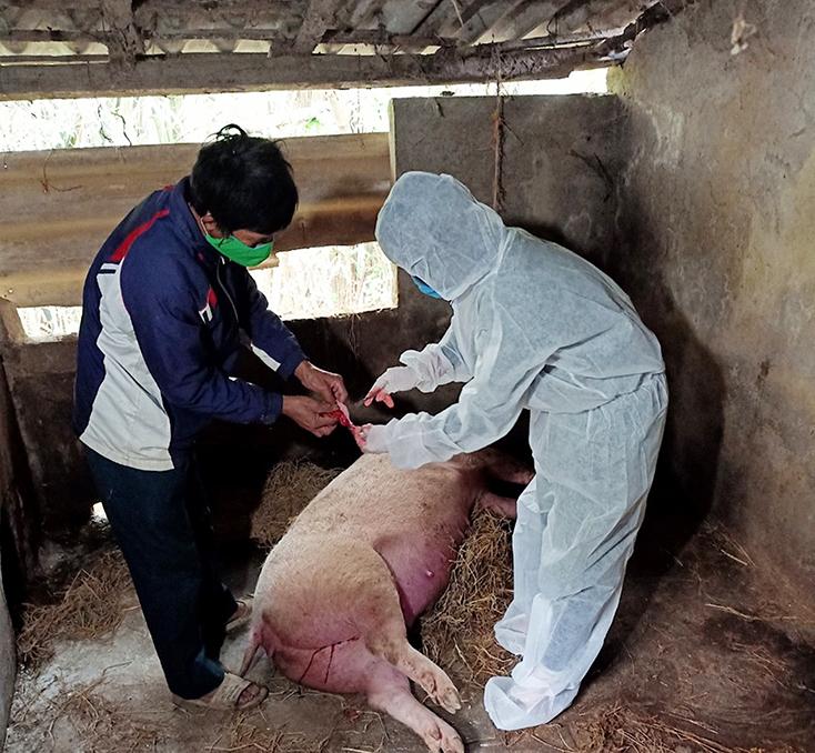 Siết chặt các biện pháp phòng, chống dịch tả lợn châu Phi