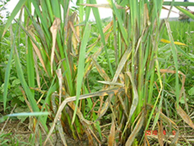 Tăng cường phòng, chống bệnh khô vằn hại lúa hè-thu