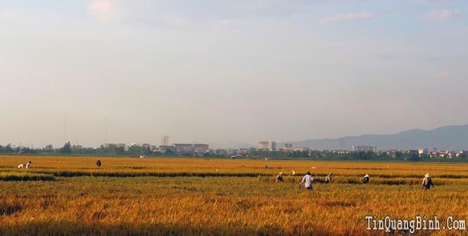 Thành phố Đồng Hới gấp rút thu hoạch vụ đông - xuân