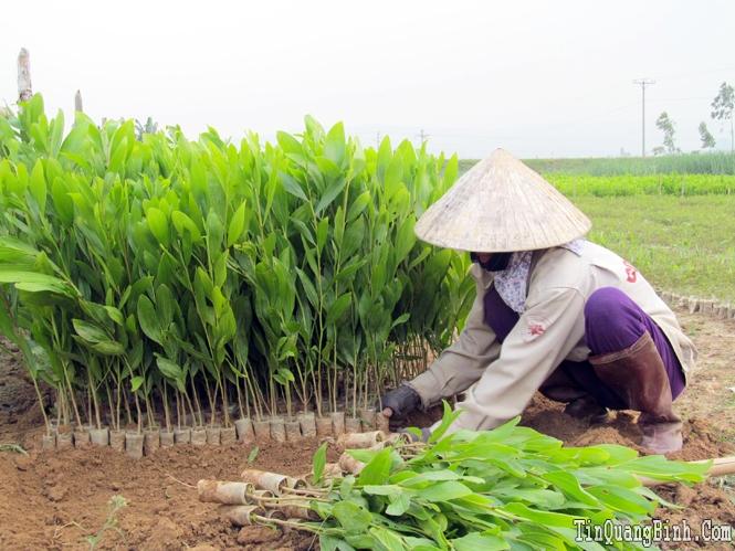 Thoát nghèo từ sản xuất cây giống