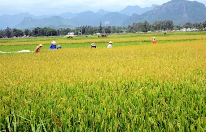 Tổng sản lượng lương thực năm 2014 đạt trên 300 nghìn tấn